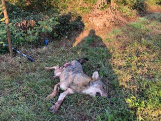 Morta la lupa investita da un'auto sulla provinciale per Sommariva Perno